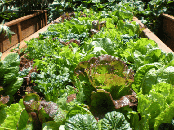 bio-intensive vegetable bed
