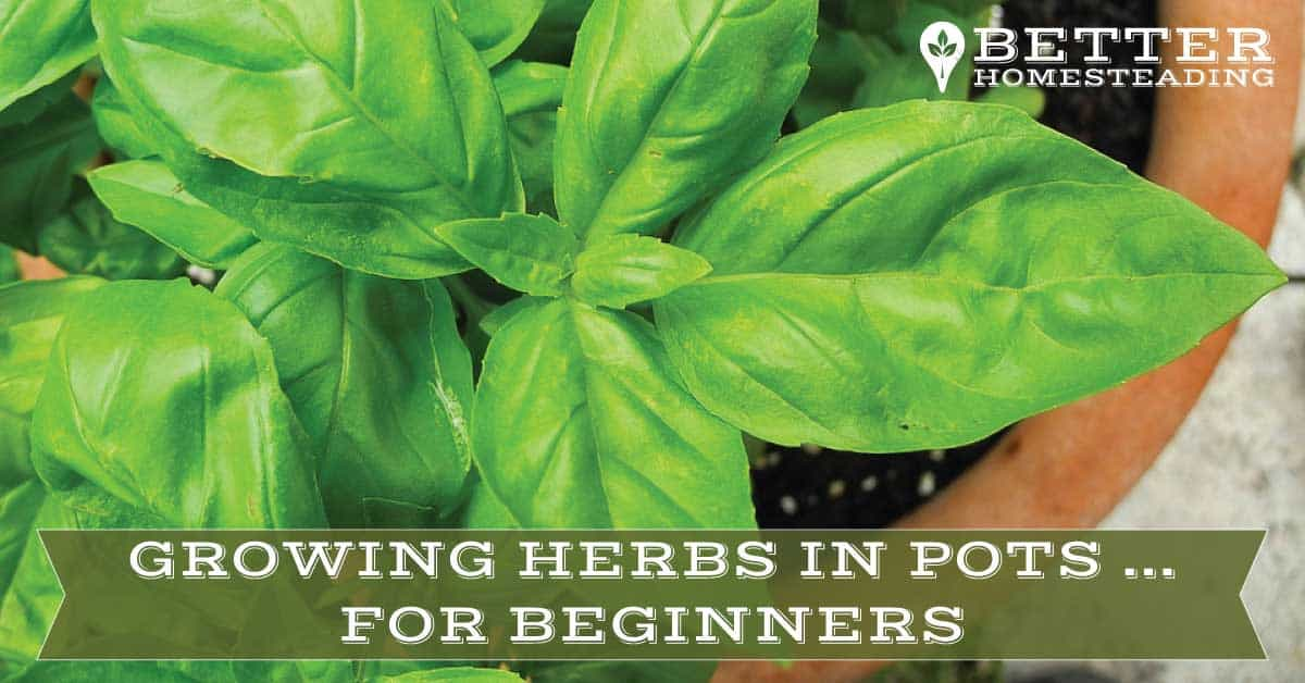 guide to growing herbs in pots for beginners