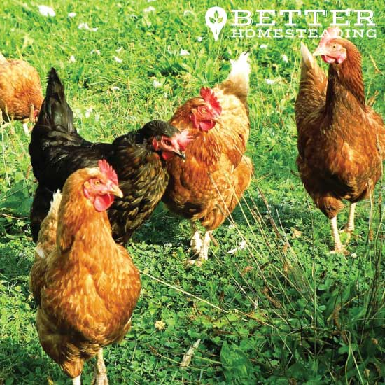 chickens are great for starting a homestead from scratch