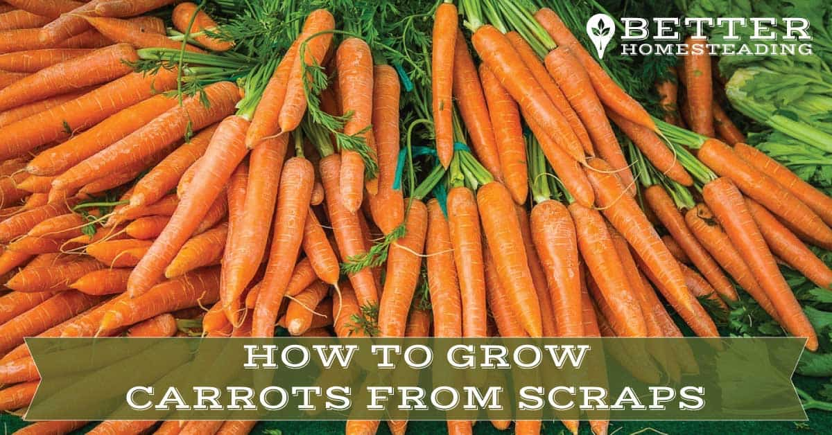 guide to growing carrots from scraps