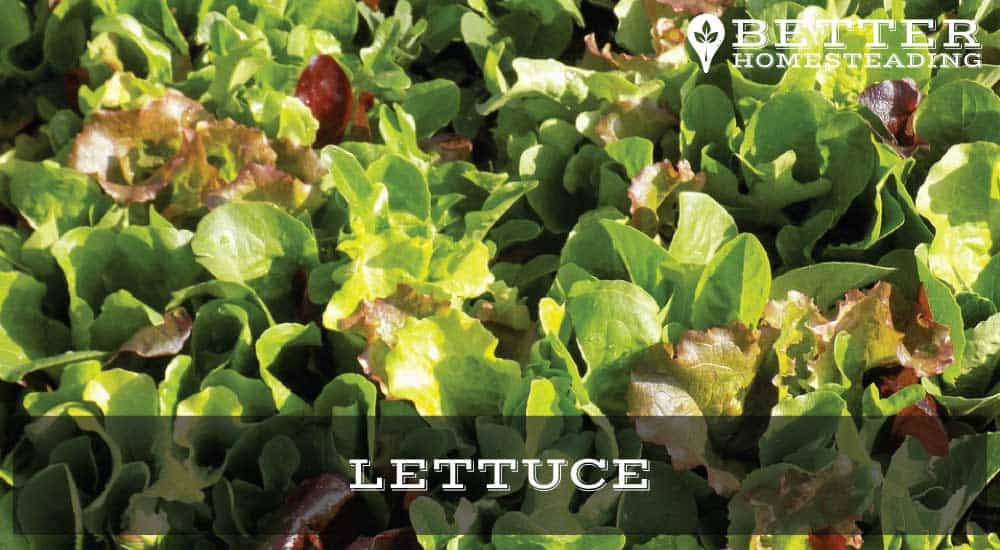 How To Grow Lettuce Without Soil