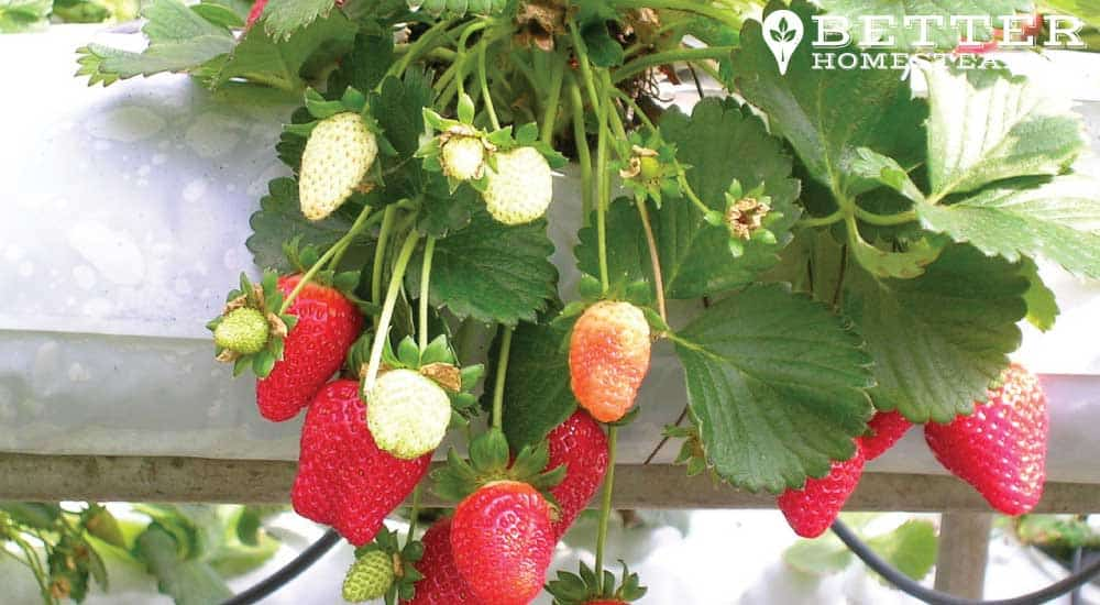 strawberries growing in a homestead apartment balcony