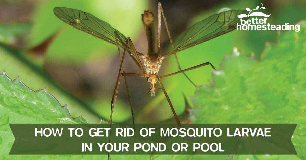 Image showing a mosquito that has just hatched. There are many solutions on how to get rid of mosquito larvae in your pond or pool to prevent mosquito infestation