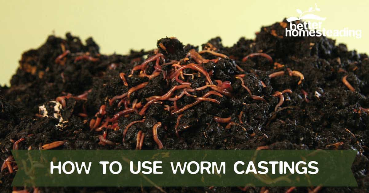 Tips on how to use worm castings with red wriggler compost worms showing in the soil