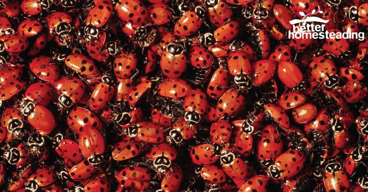 Hundreds of ladybugs