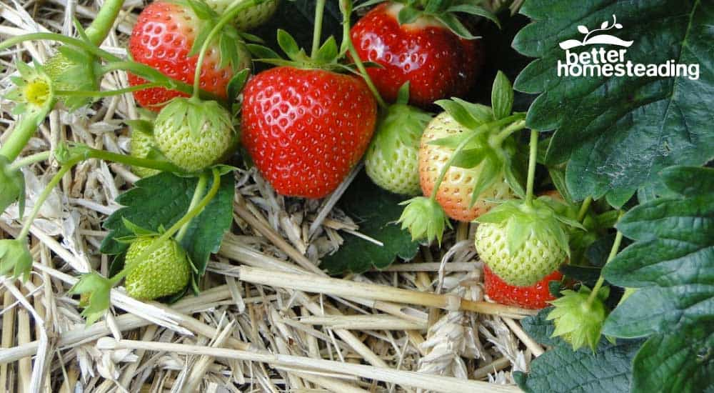 Planting strawberries in hay bales. Here we see ripe strawberries growing in clean straw