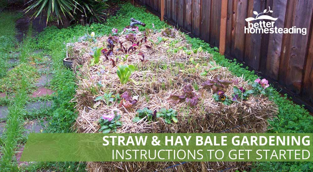 Straw and hay bale gardening with lettuces planted in bales
